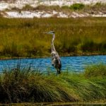 Everglades Blue Heron